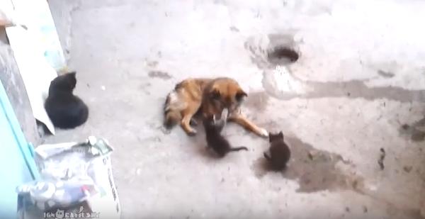 母猫が仲良しの犬に子猫を見せにやってきた