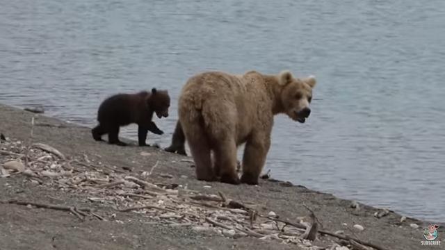 ハイキングしてたら大型の熊と遭遇