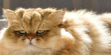 ブサイク猫なのに人気者!?Twitterで話題のふーちゃんって何者?